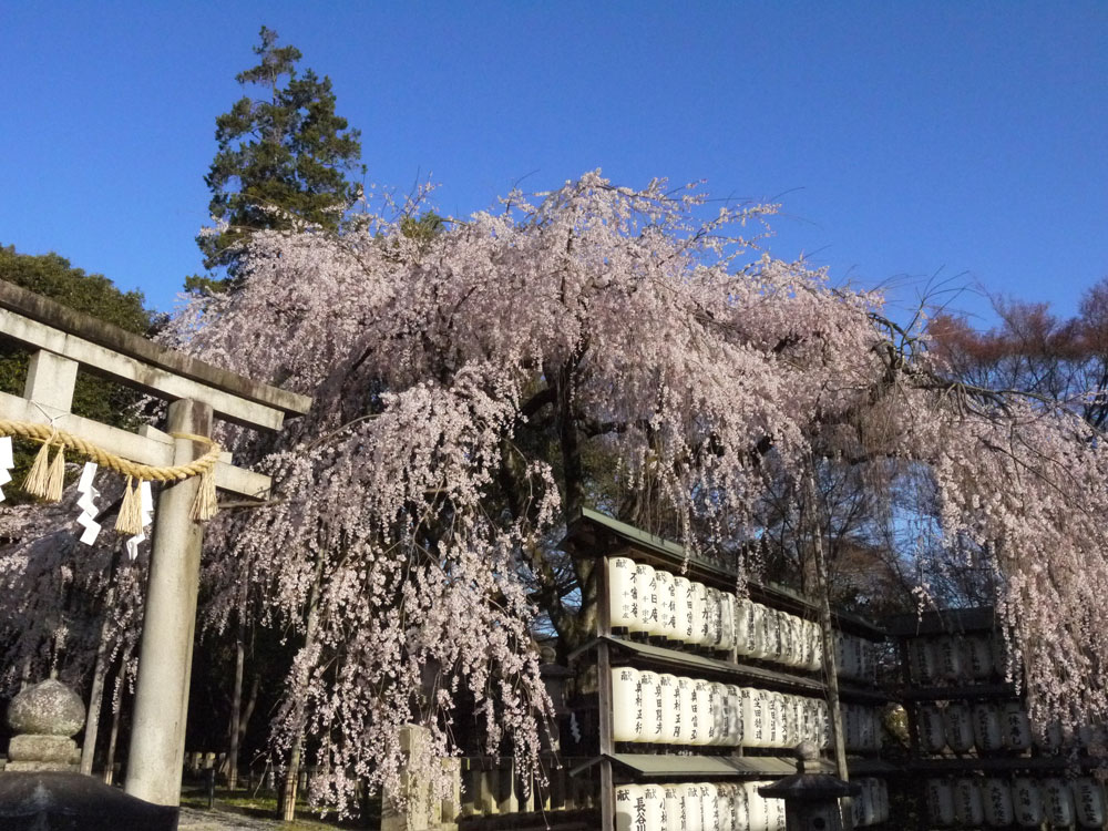 京都 大石神社の枝垂桜