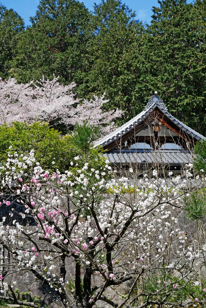 京都 往生院 桜のフリー写真素材