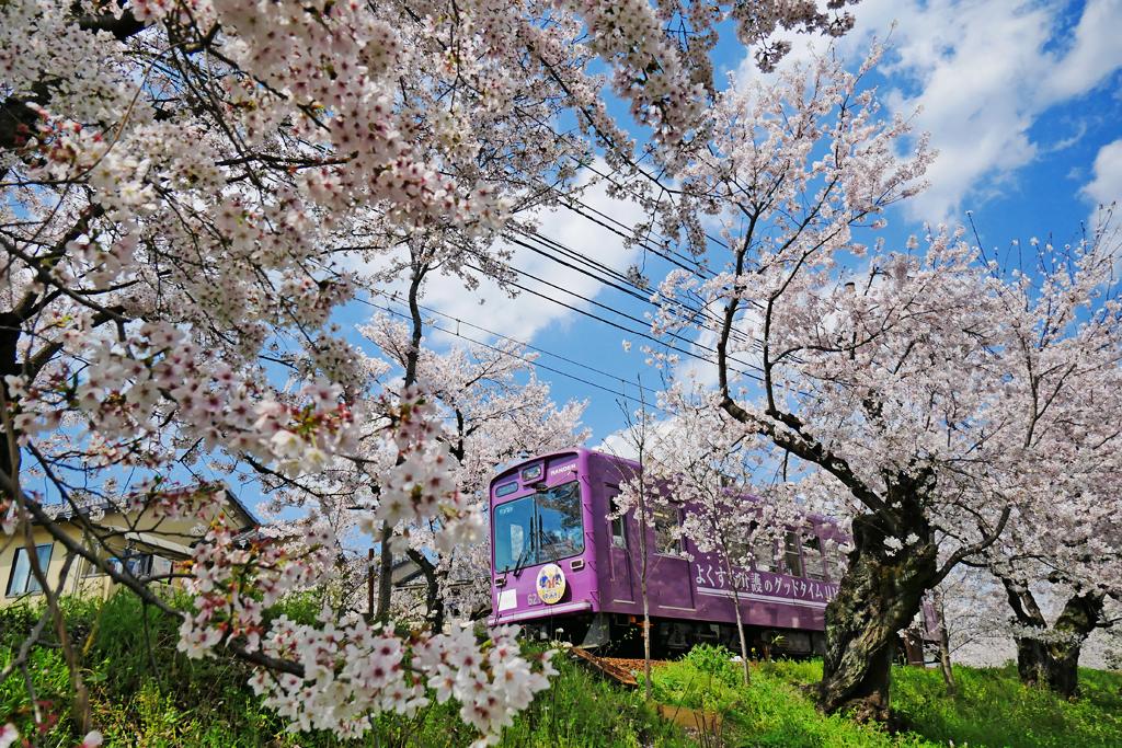 京都 嵐電の桜のフリー写真素材