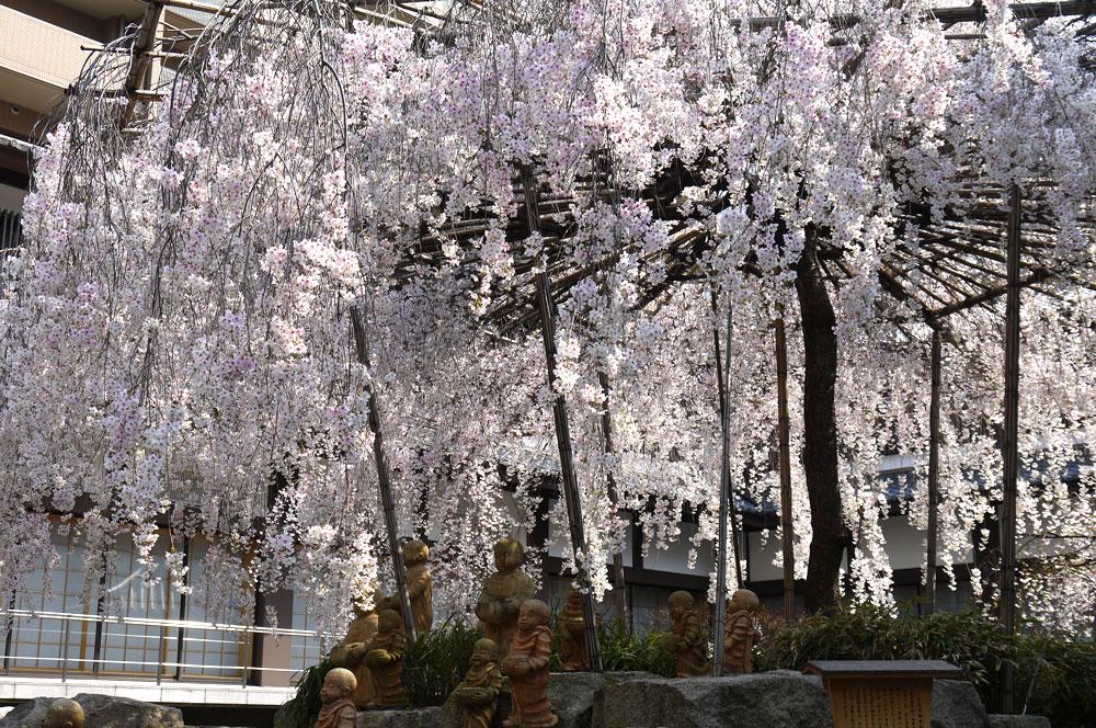 京都 六角堂の桜