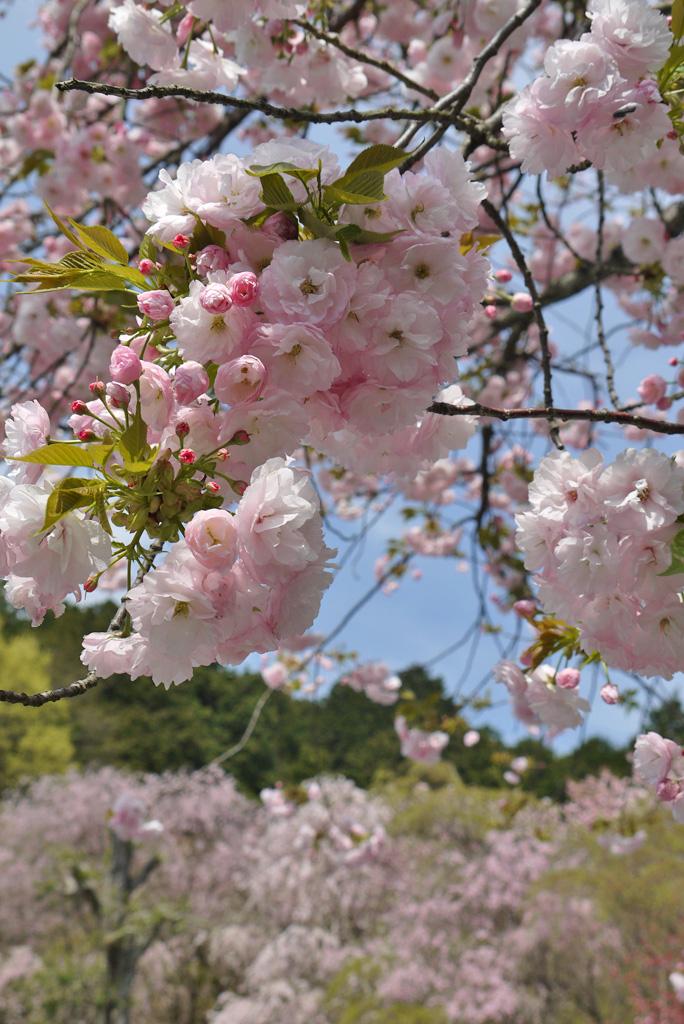 京都 龍安寺の桜