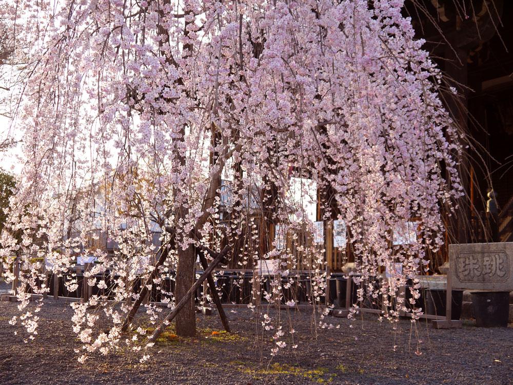 京都 立本寺の桜