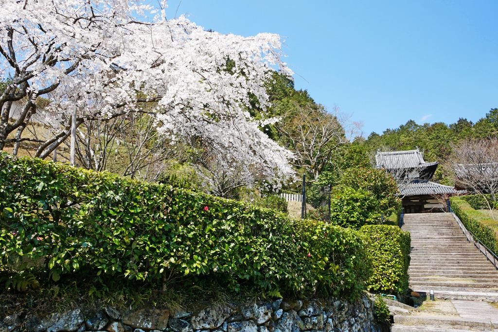 京都 西寿寺の桜のフリー写真素材