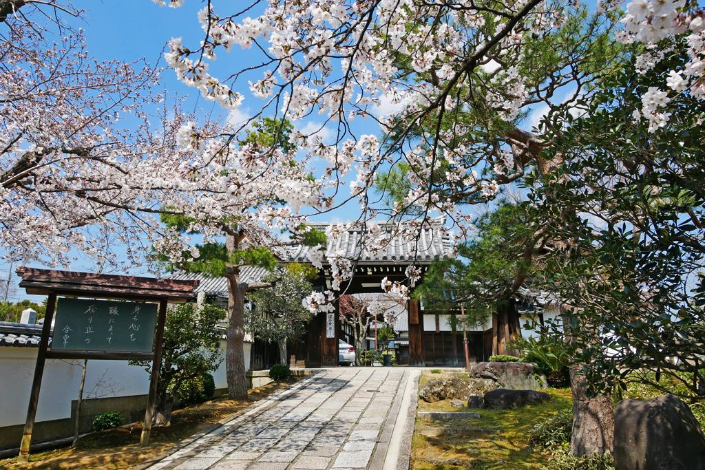 京都 西向寺の桜のフリー写真素材