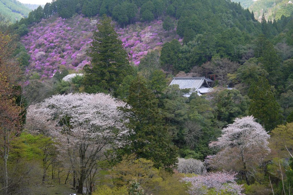 京都 西明寺の裏山の桜とミツバツツジ