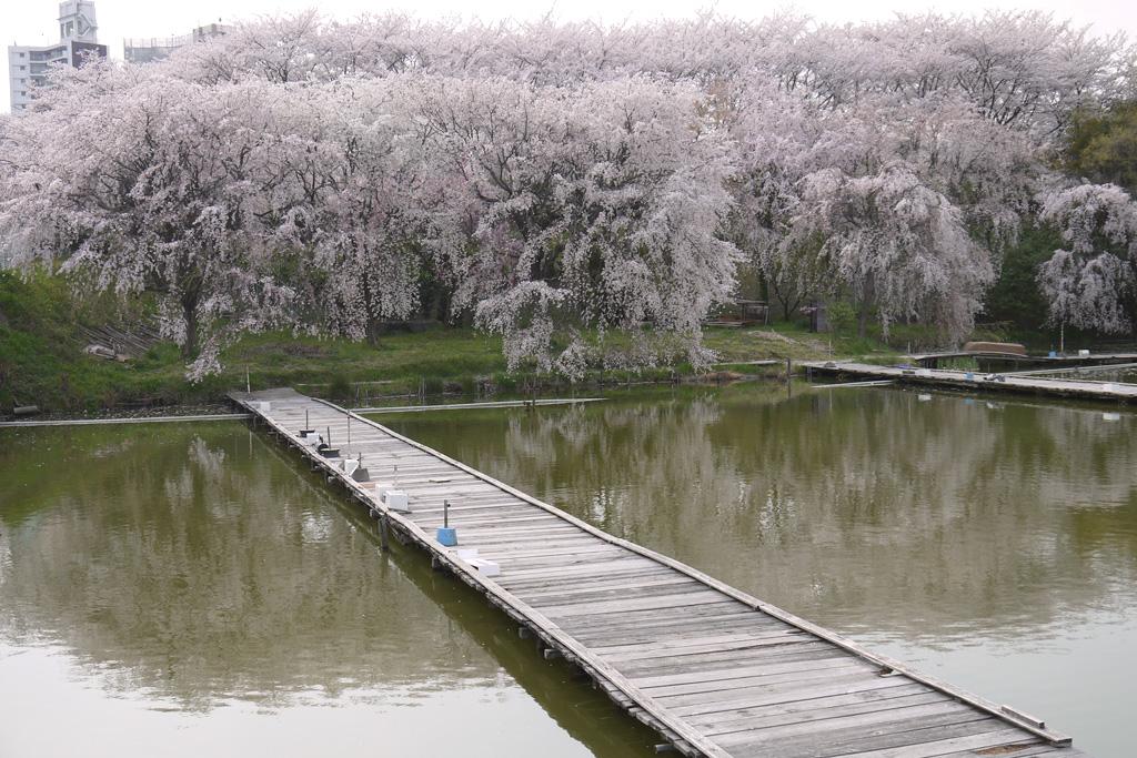 京都 八幡市さくら近隣公園の桜