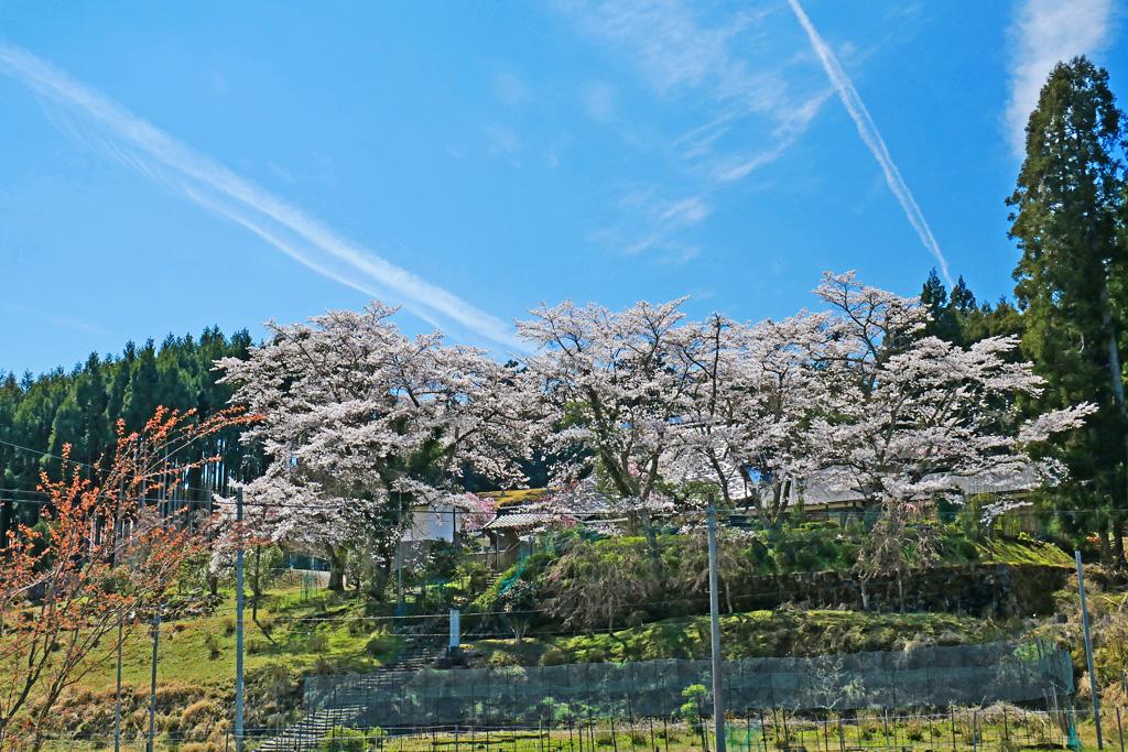 京都 三明院の桜のフリー写真素材