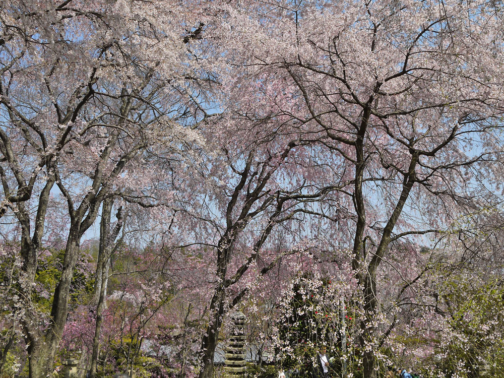 京都 佐野藤右衛門邸の桜