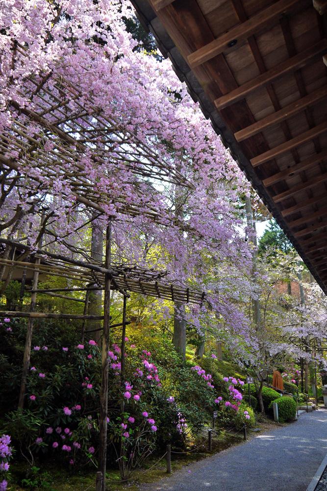 京都 三千院の石楠花と桜