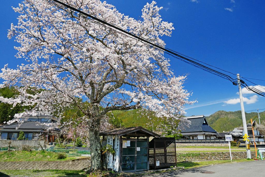 京北 沢尻公民館前の桜のフリー写真素材