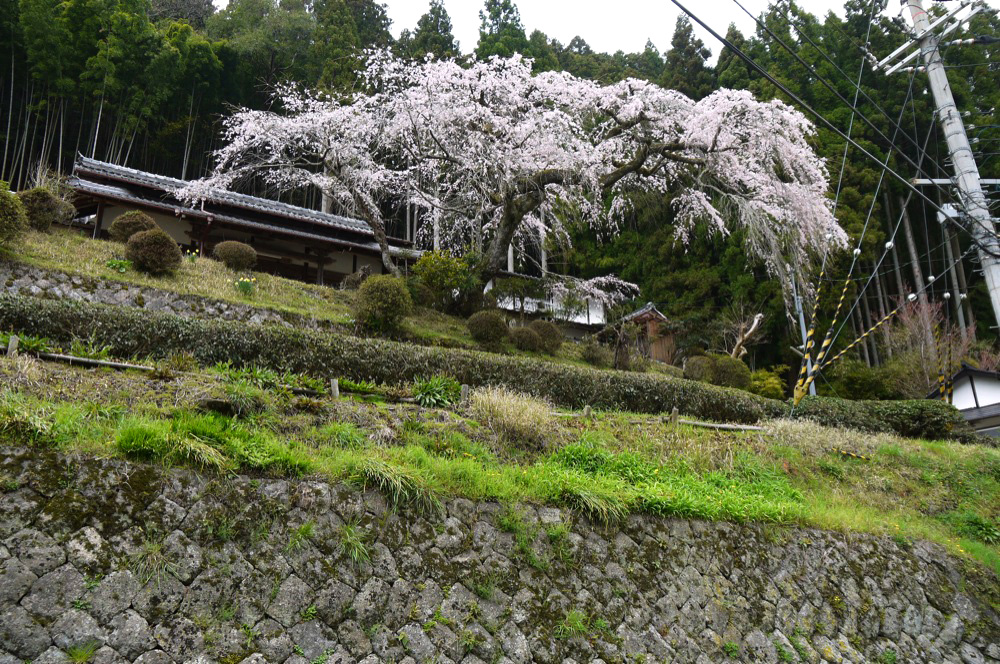 京都 西願寺の桜