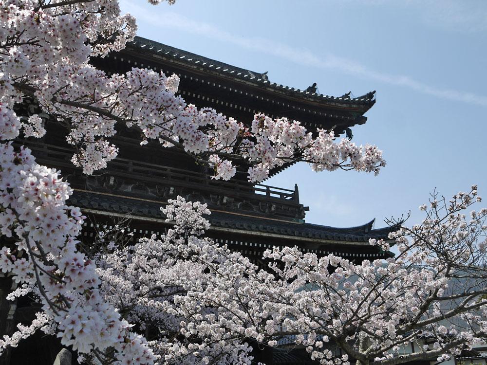 京都 清涼寺の桜