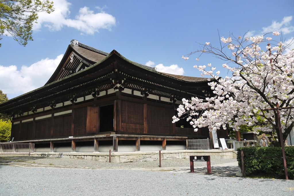京都 千本釈迦堂桜