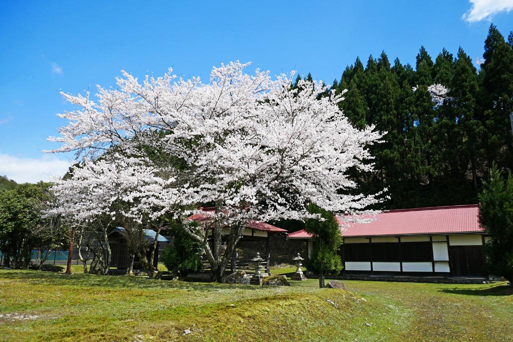 京北 下弓削のふれあい広場の桜のフリー写真素材