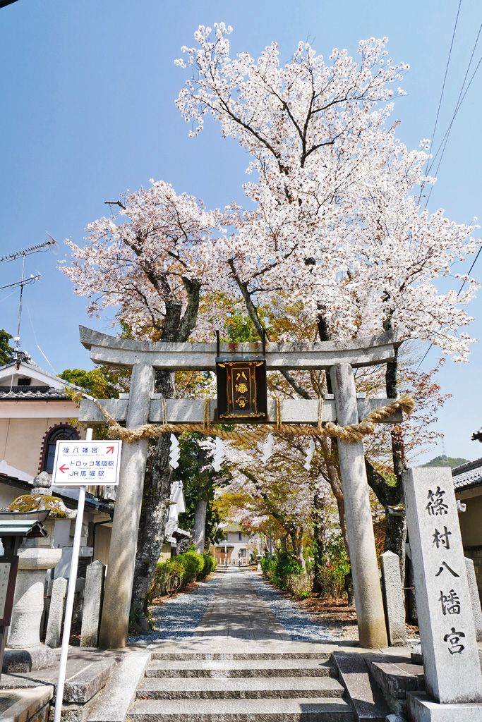 亀岡 篠村八幡宮の桜のフリー写真素材