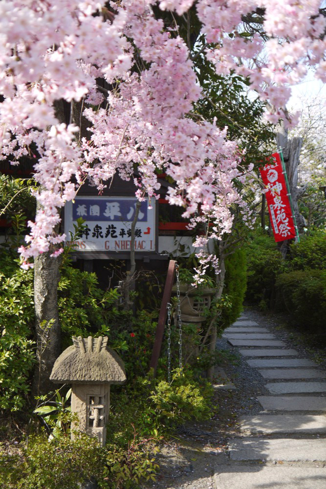 京都 神泉苑の桜
