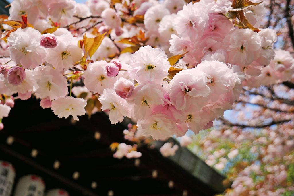 京都 白峯神宮の桜の写真素材