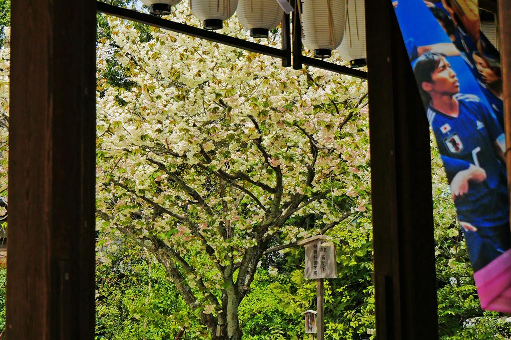京都 白峯神宮の鬱金桜の写真素材