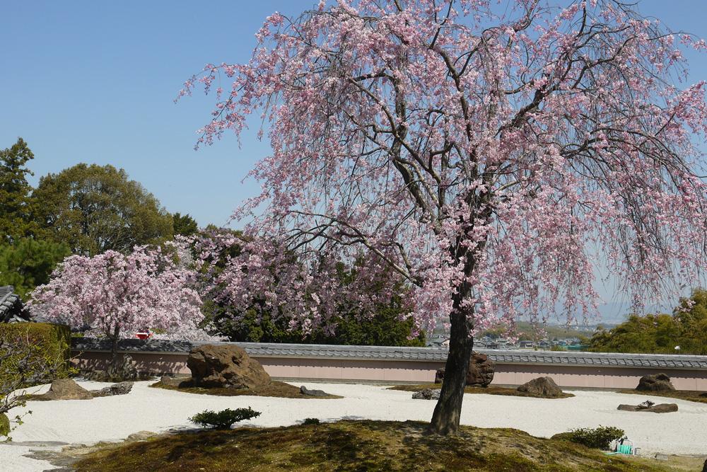 京都 正法寺の枝垂桜