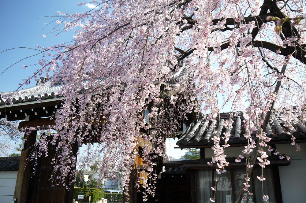 京都 聖護院の枝垂桜