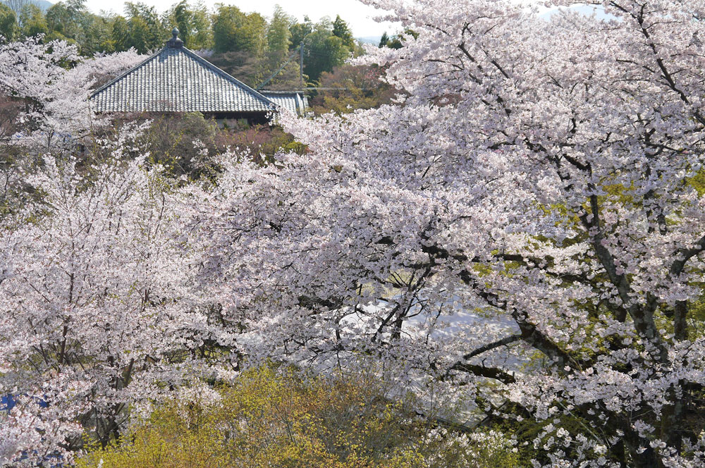 京都 将軍塚大日堂の桜
