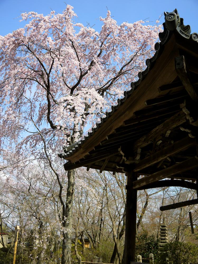 京都 勝持寺の桜