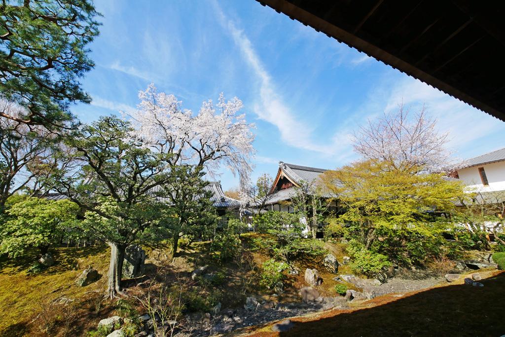 京都 相国寺の桜のフリー写真素材