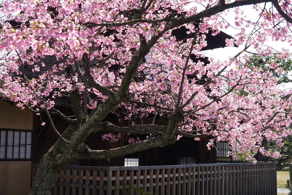 京都 東本願寺の渉成園の桜
