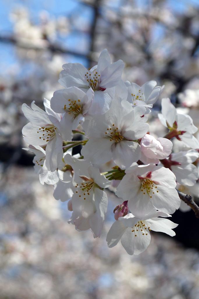 染井吉野 桜