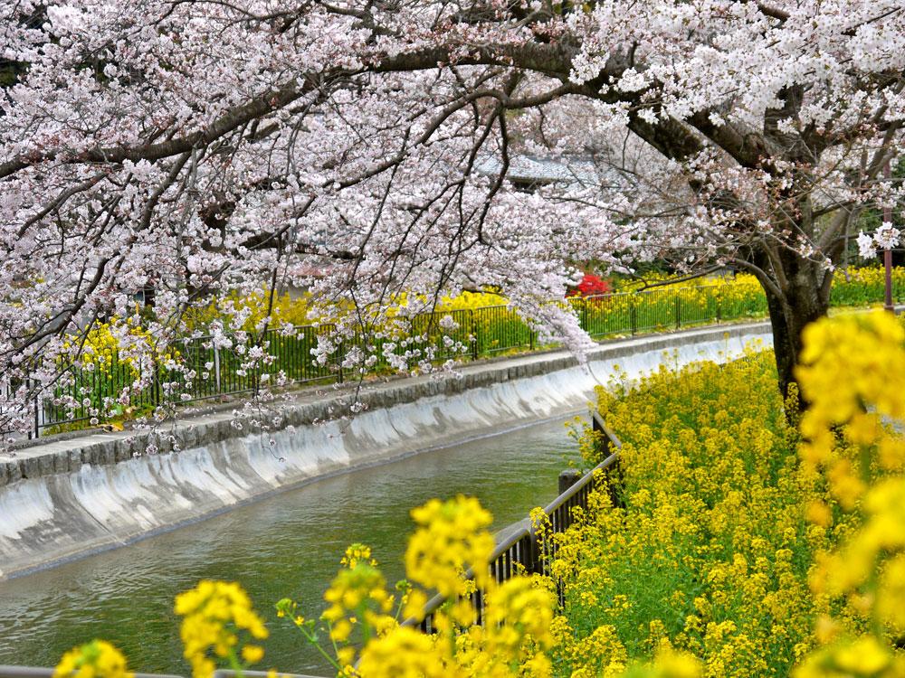 京都 琵琶湖疏水の桜