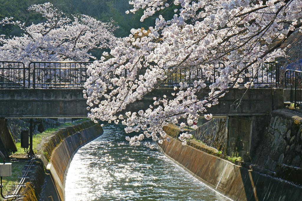 琵琶湖疏水の桜