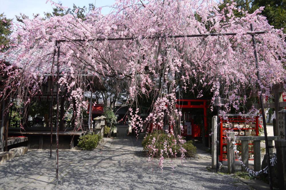 京都 水火天満宮の枝垂桜の写真素材