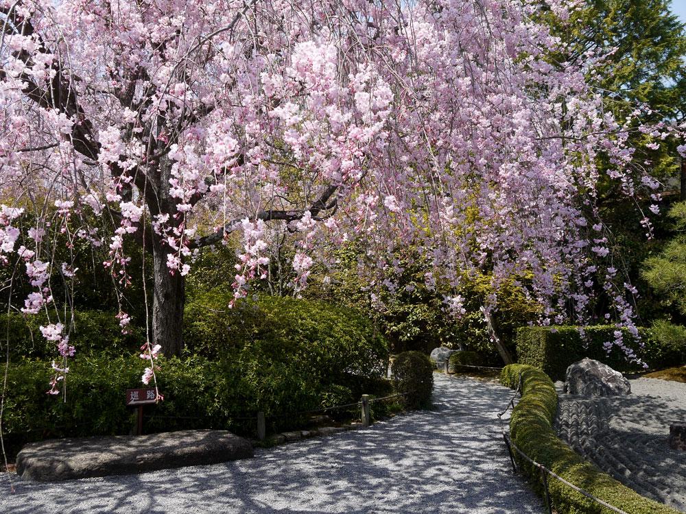 京都 妙心寺退蔵院の桜