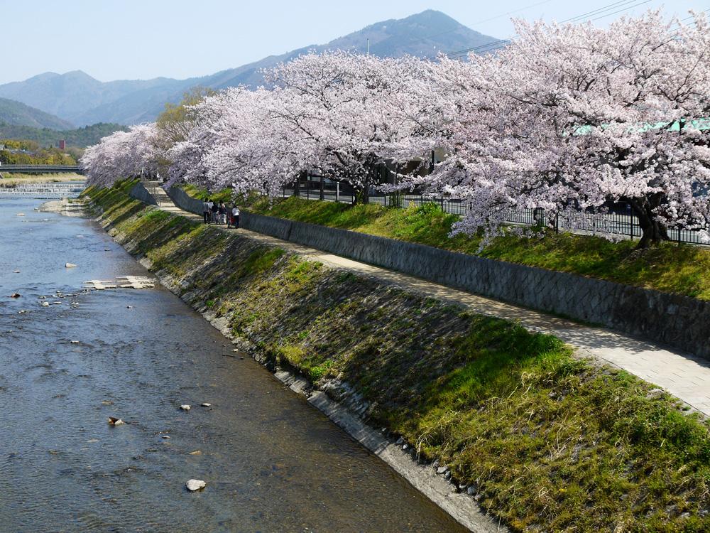 京都 高野川の桜