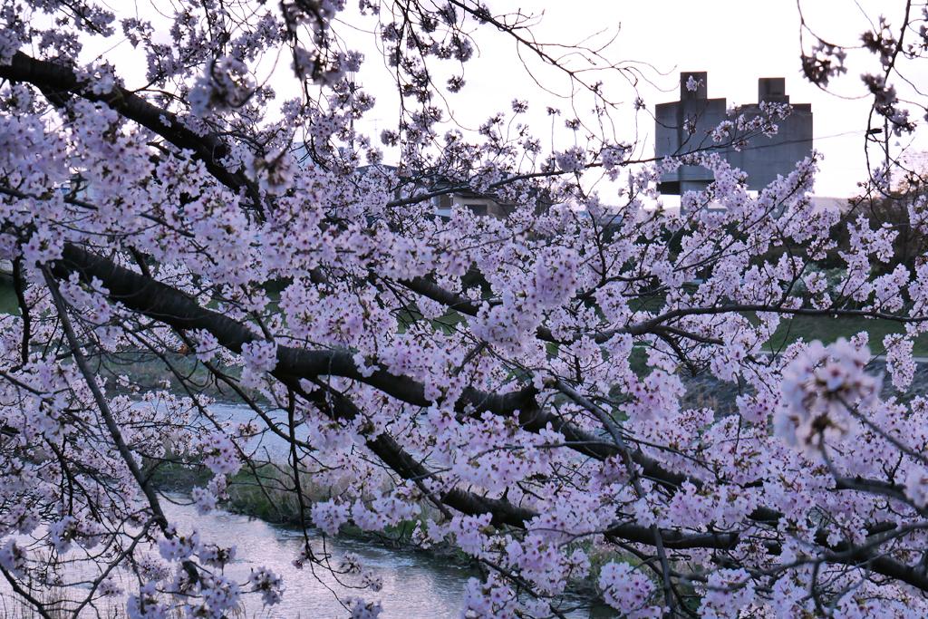 京都 高野川の桜の写真素材