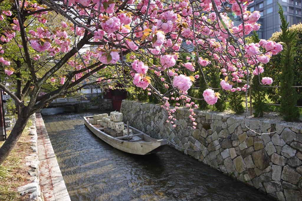 高瀬川一之船入の八重桜