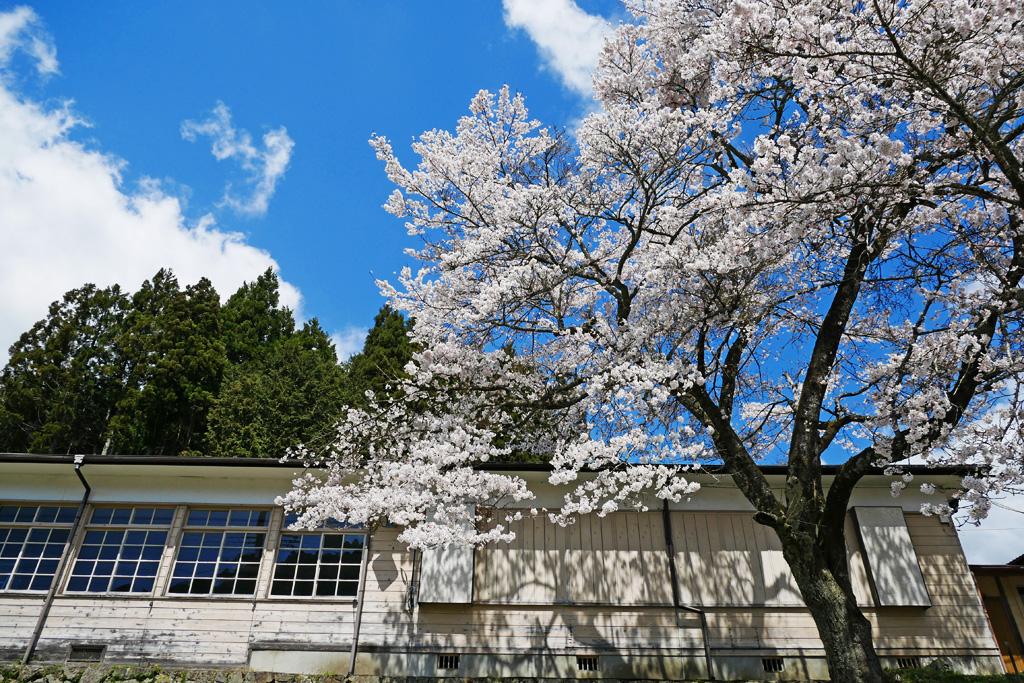 京北 田貫公民館の桜のフリー写真素材