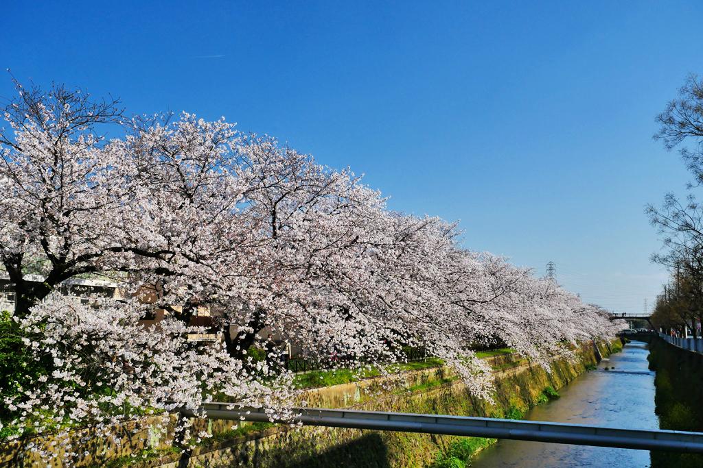 京都 天神川の桜のフリー写真素材