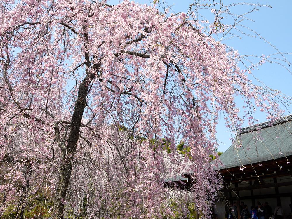 京都 天龍寺の桜