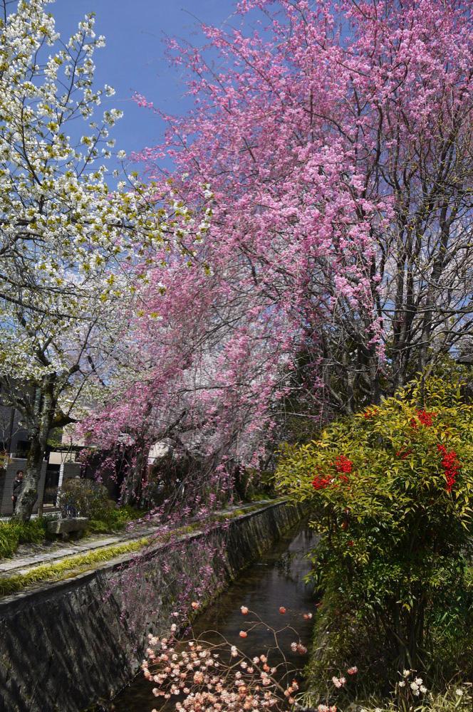 京都 哲学の道の桜