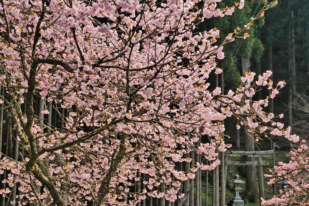 京都 道風神社の桜のフリー写真素材