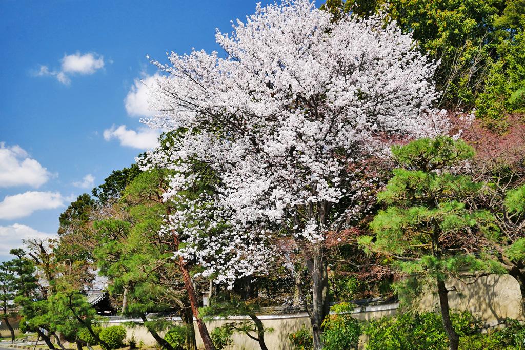 京都 東福寺の桜のフリー写真素材