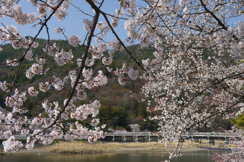 京都 嵐山渡月橋の桜