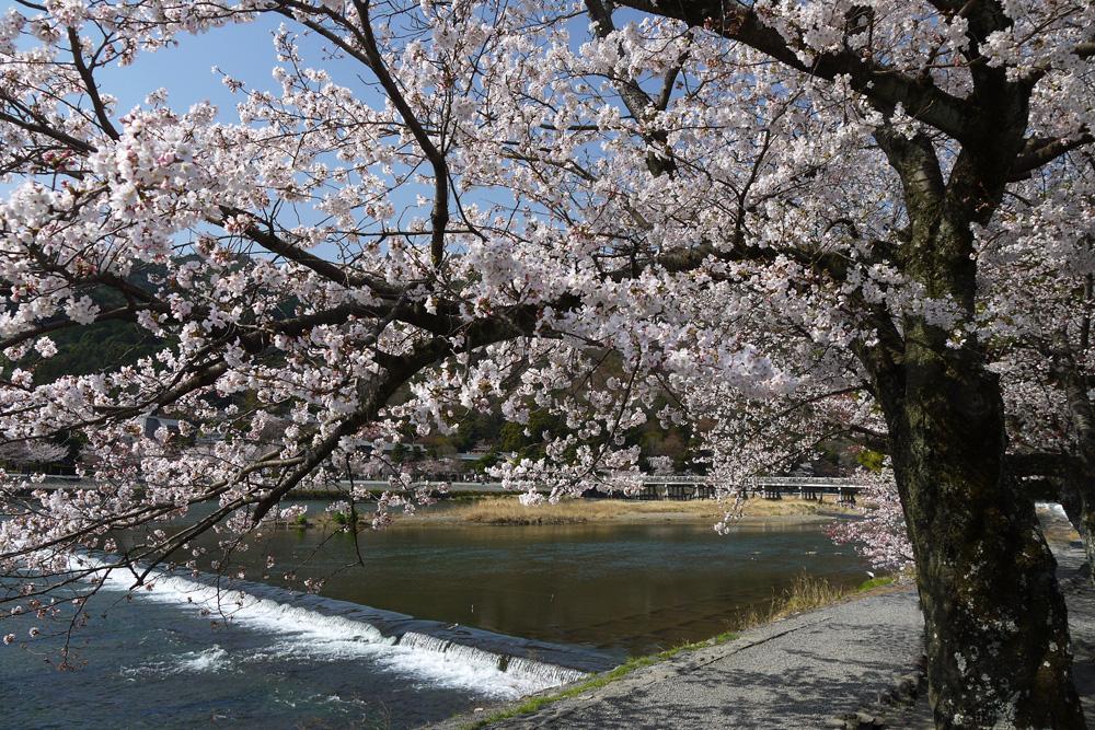 京都 嵐山渡月橋の桜のフリー素材