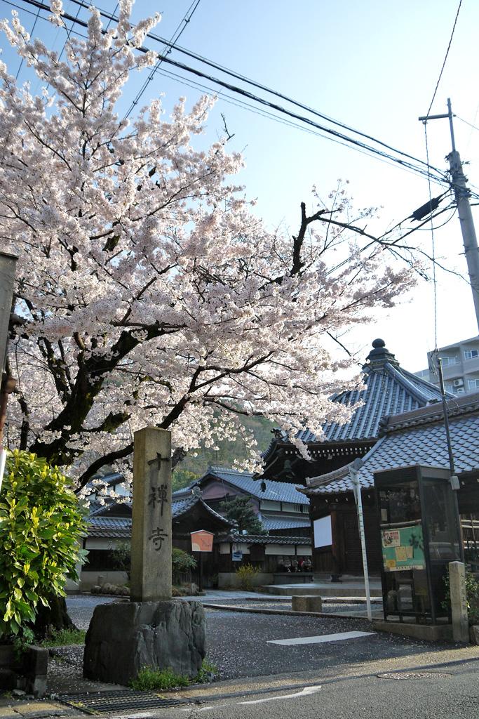 京都 徳林庵の桜のフリー写真素材