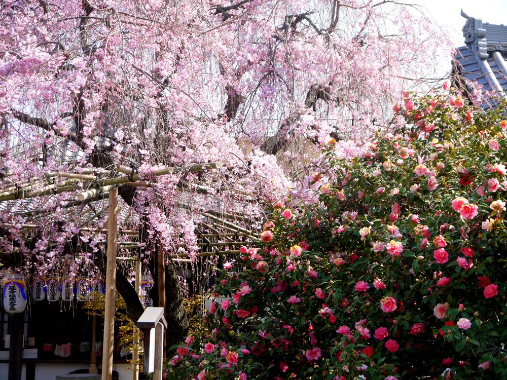 京都 地蔵院椿寺の枝垂桜と五色八重散椿