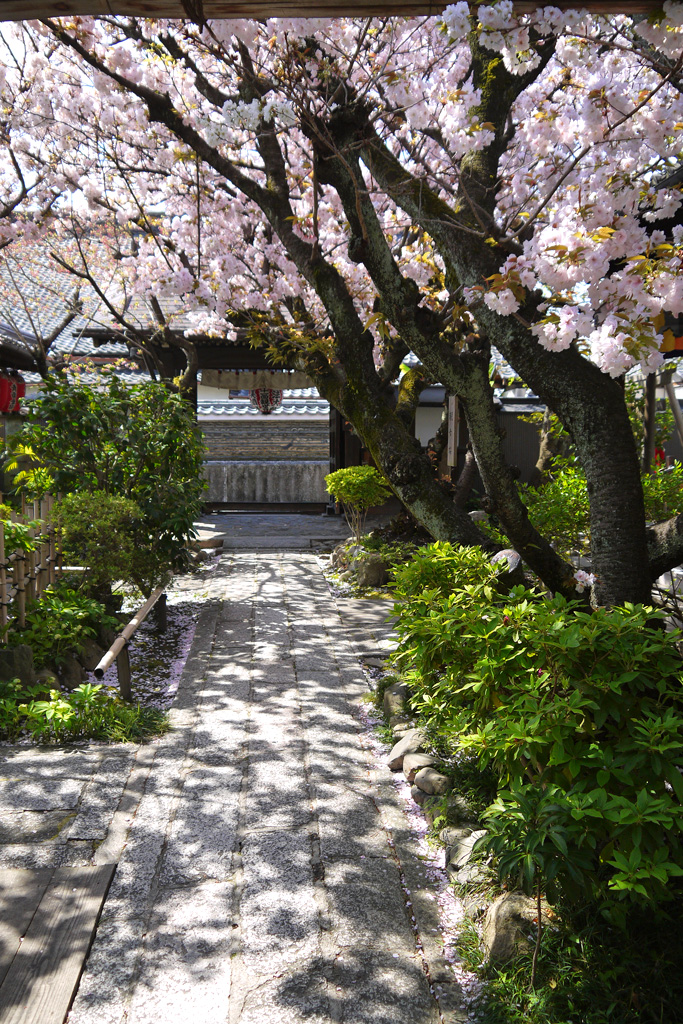 京都 雨宝院の桜