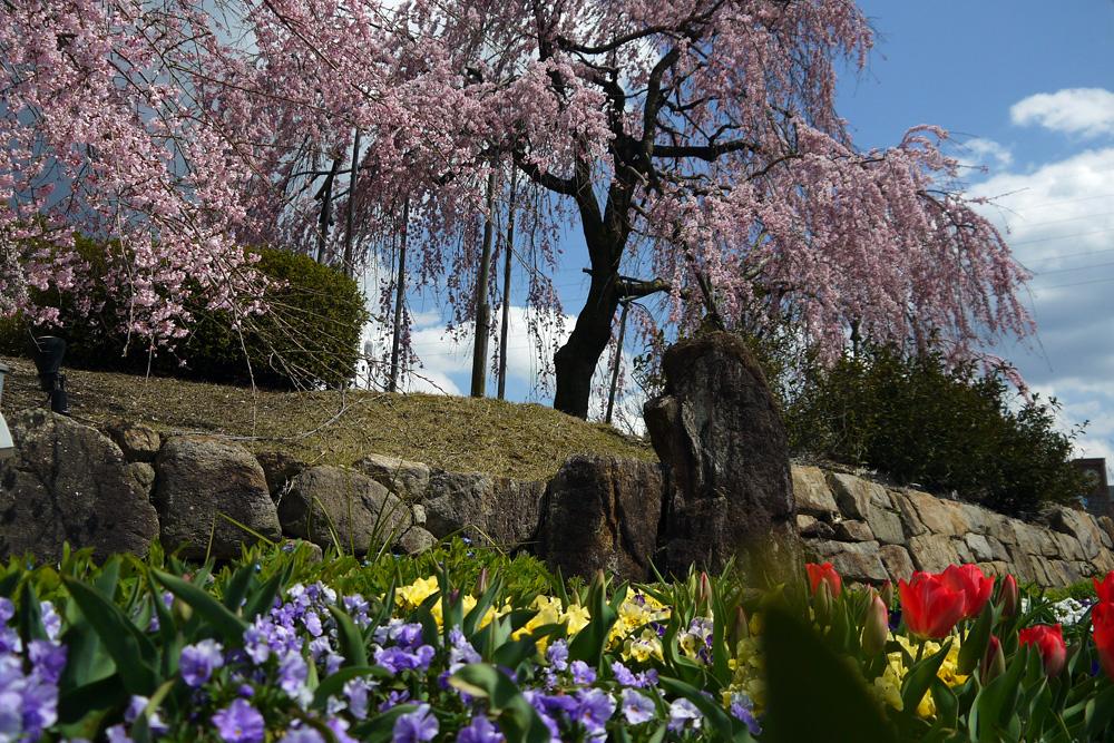 京都 宇治市植物公園の枝垂桜