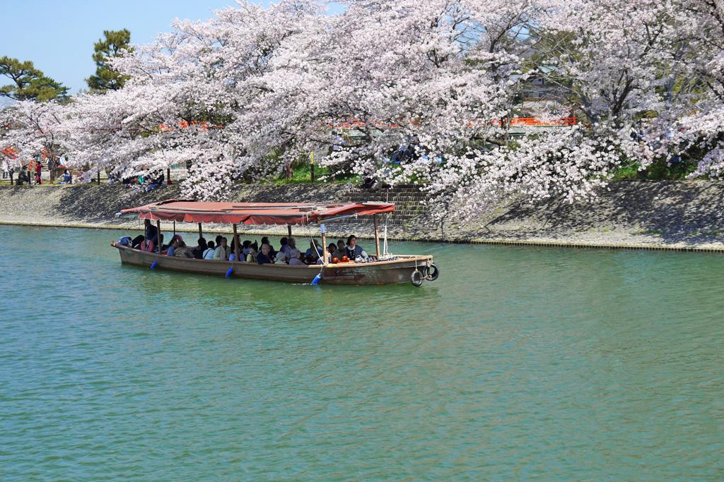 京都 宇治の桜