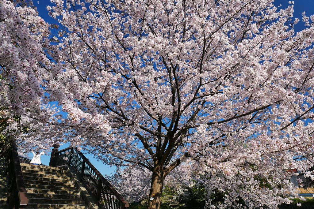 京都 伏見・宇治川派流の桜のフリー写真素材